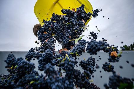 Vendanges du Pinot Noir a Irancy