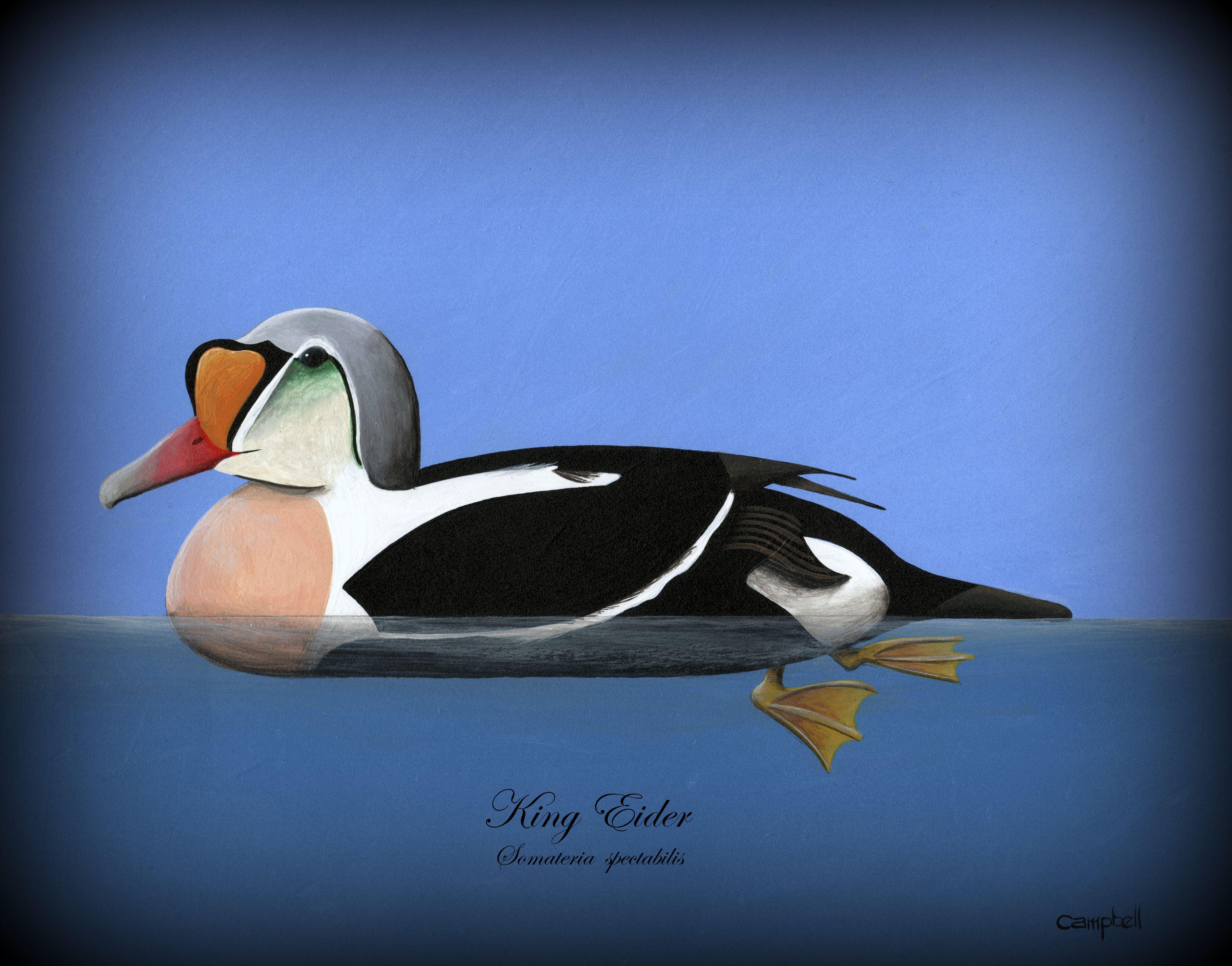 King Eider