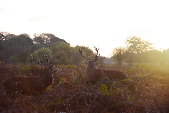 Sunrise with the stags in London