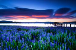 Lupin Sunrise, June 2014