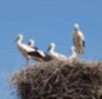 Entlan der Elbe gibt es viele Storchennester zu sehen, die Störche finden viel Nahrung in den naturschutzgebieten und Biosphärenreservaten