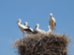 Stork couple with young storks
