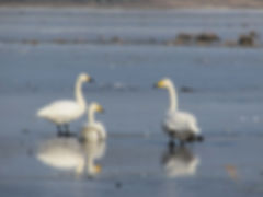 Whooper swans on the Elbe