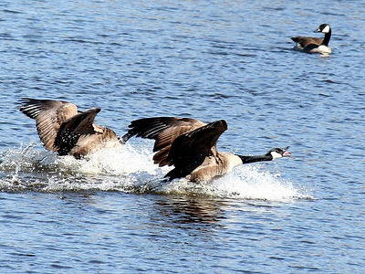Canada Geese in the Elbe