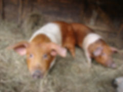Schweine in der Arche-Region