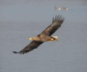 König der Lüfte: Der Seeadler