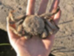 Krabbe in der Hand