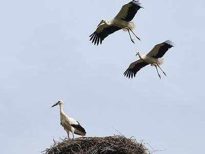 White storks in the sky