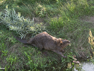 Beavers in the Elbe region