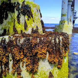 Kelp on the Lifeboat Station