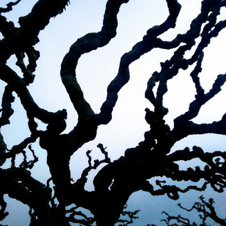 Gnarled Mulberry Branches