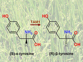 New allelochemical found in rice