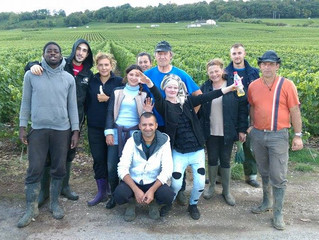 Vendanges 2015 en Champagne