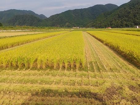 稲刈りのルート取り