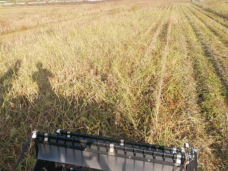 大豆収穫4日目