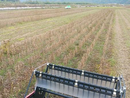 大豆の収穫開始