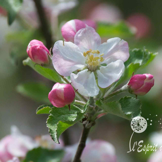 Fleur de merisier