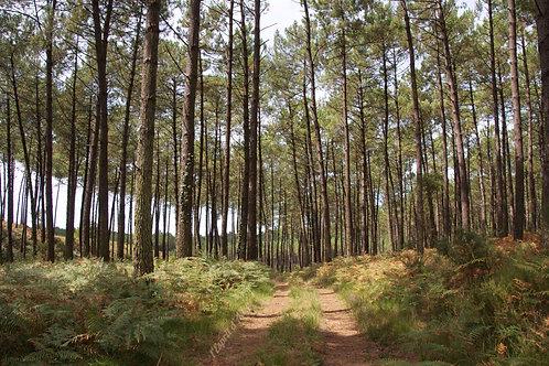 Forêt pins des Landes