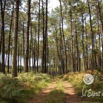 Forêt de pin (Landes)
