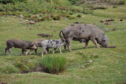 Cochons plateau de Coscione