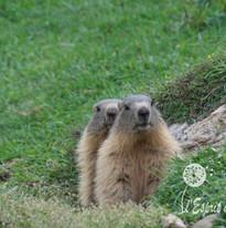 Duo de marmottes