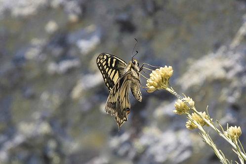 Papillon sur immortelle