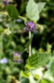 psoralea corylifolia.jpg