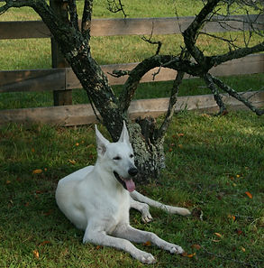 Dog restng under favorite tree