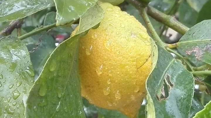 Citrons Eureka /500g