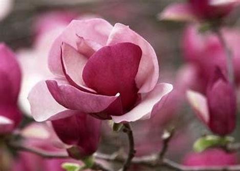 Pink Magnolia.jpg