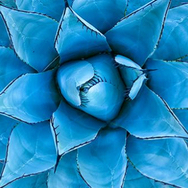 Blue Agave_edited.png