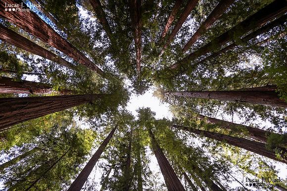 Giants of Redwood National Park