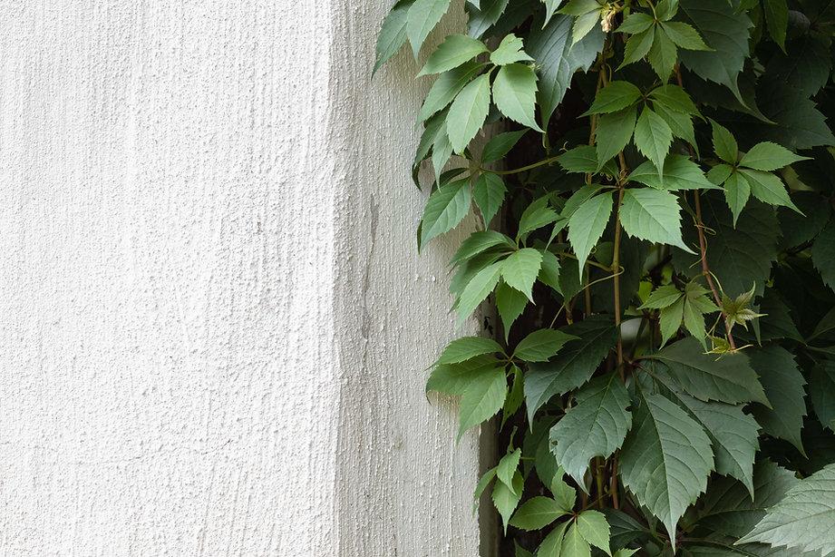 Grüner Efeu auf Steinmauer