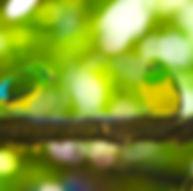 Perroquet Colombie