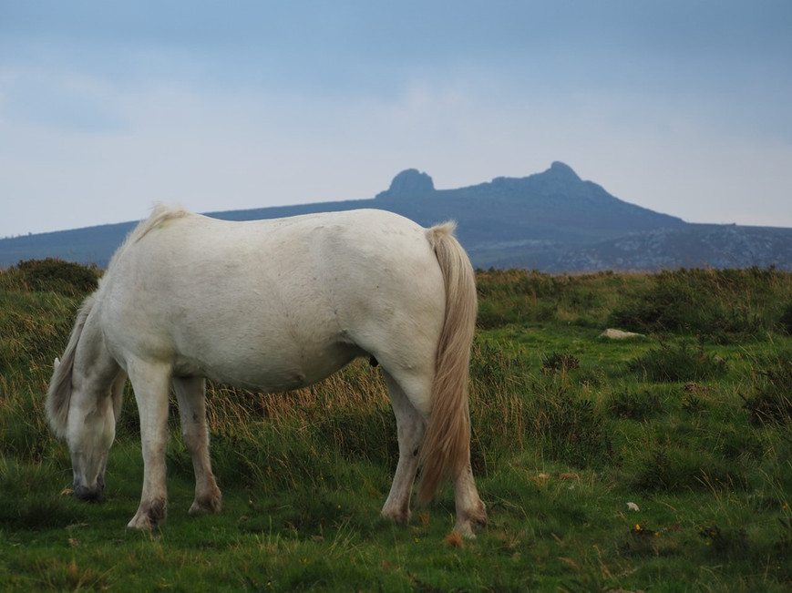dartmoor pony.jpg