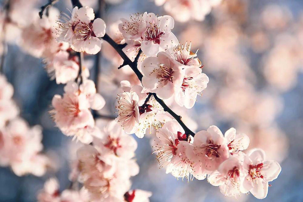 cerejeira carregada