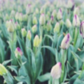 Long stem tulips in the high desert. Who