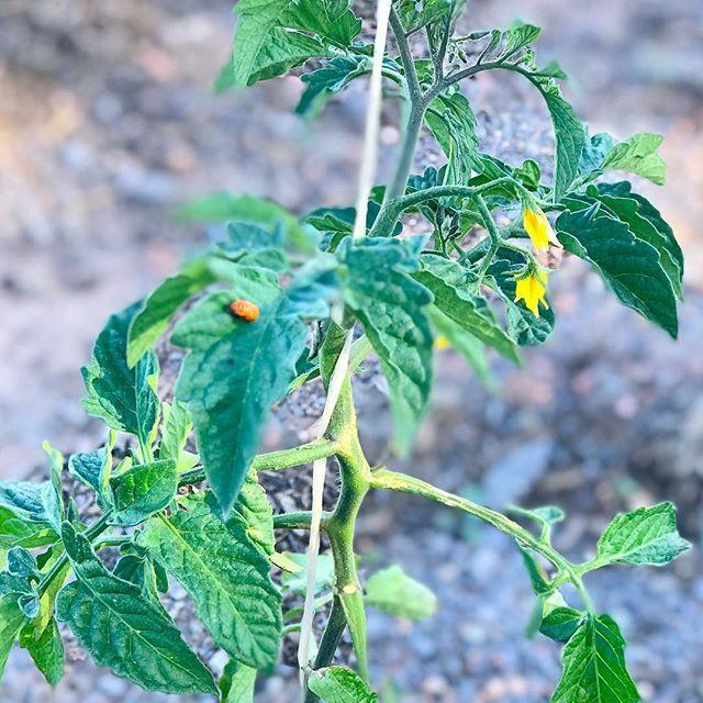 rosebird gardens organic tomato at Rosebird Gardens
