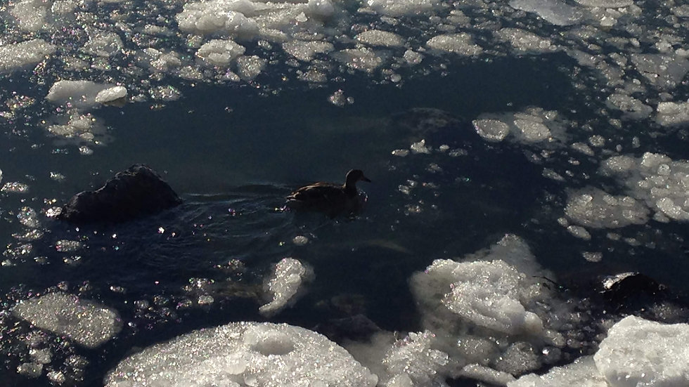 Duck and the Chunks of Ice