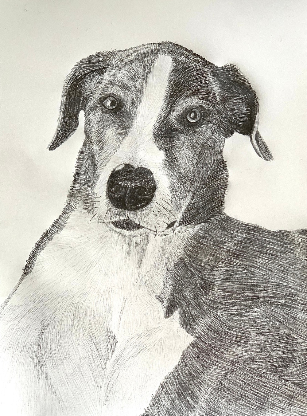 Picture of a graphite pencil drawing of Olive the Great Dane /Greyhound