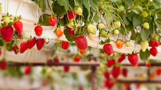 Strawberry Walls