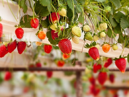 Strawberry Walls Forever!