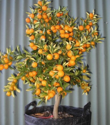 ATOMHOUSE - ESPALIER dwarf-citrus-kumqua
