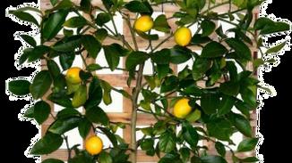 Fruit & Citrus