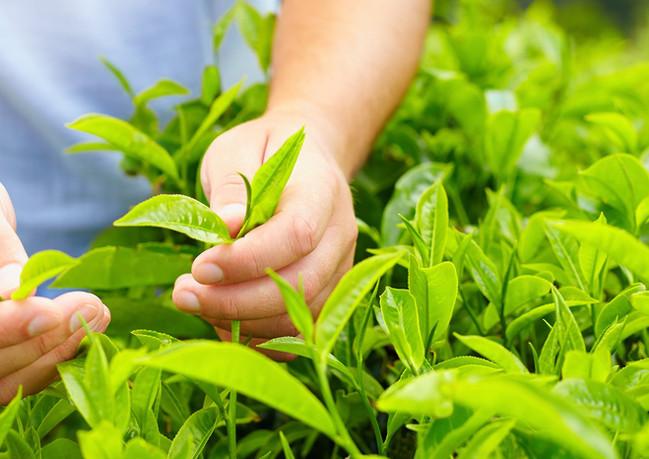 TEA PLANT.jpg