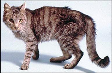 יתר פעילות של בלוטת התריס בחתולים