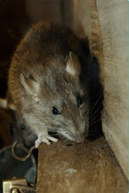 Spotless Crime Clean rodent and animal cleanup