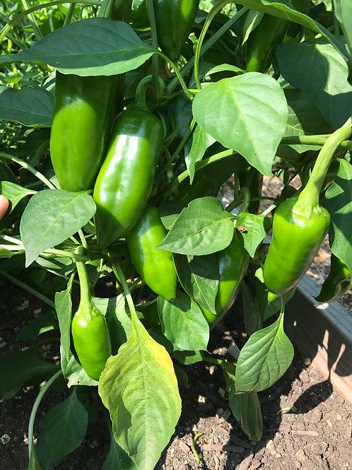 Red Corno Di Toro Seeds (10-15 seeds)