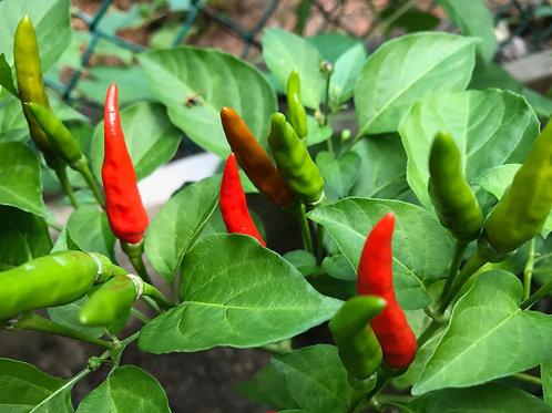 Firecracker Seeds (10-15 seeds)