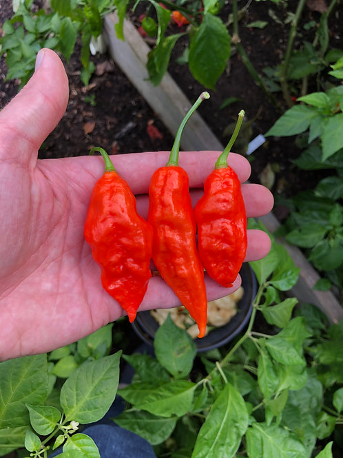 Ghost Pepper Seeds